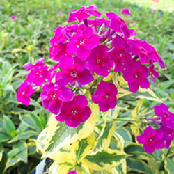Phlox 'Goldmine Improved'