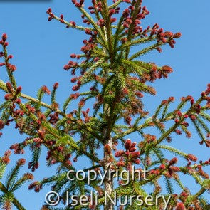 Red Tipped Norway Spruce