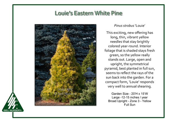 Louie's Eastern White Pine