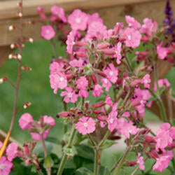 Silene 'Rollies Favorite'