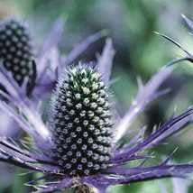 Sea Holly 'Blue Glitter'