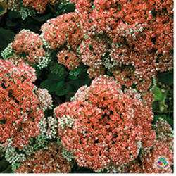 Sedum 'Munstead Dark Red'
