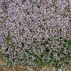 Creeping Thyme ' Pink Chintz'