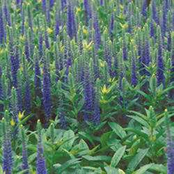 Veronica 'Royal Candles'
