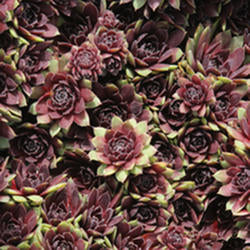 Sempervivum 'Arno'