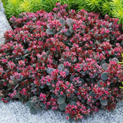 Sedum Sunsparkler 'Blue Elf'