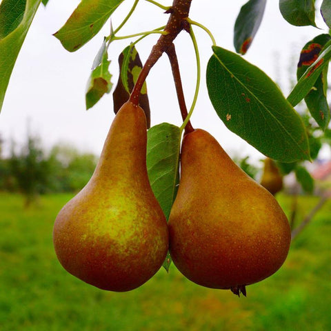 Pear Fruit Tree 'Bosc'