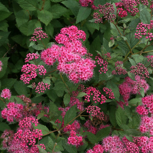 Spirea 'Double Play Pink'