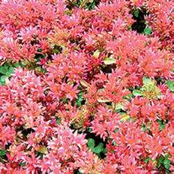 Sedum 'Spurium Red Form'
