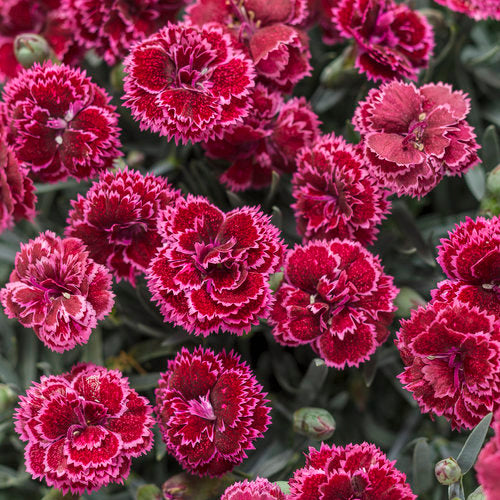 Dianthus 'Black Cherry Frost'