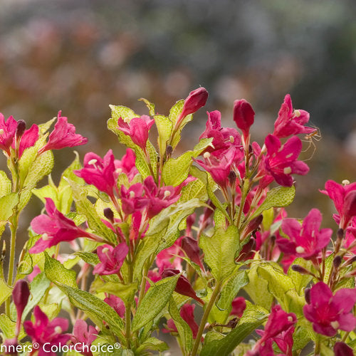 Weigela 'Sonic Bloom Ghost'