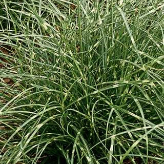 Miscanthus 'Little Zebra'