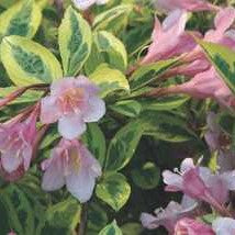 Weigela 'Rainbow Sensation'
