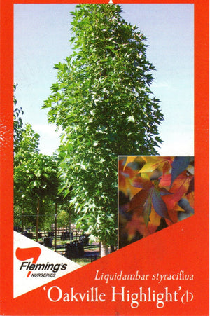 "Liquidambar Styraciflua ""Oakville Highlight"""