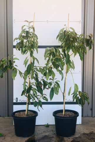 Fruit Trees - Avocado