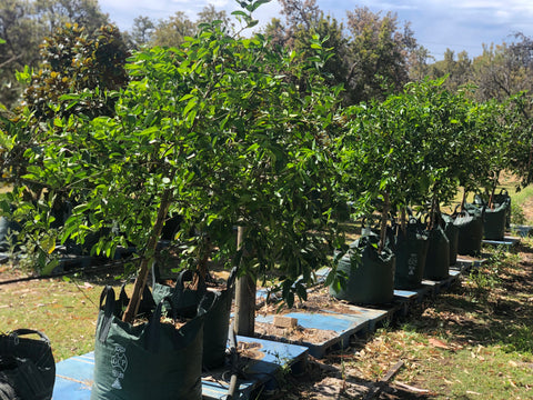 Fruit Trees - Lime