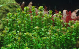 Rotala 'Bonsai' Tropica - GreatAscape