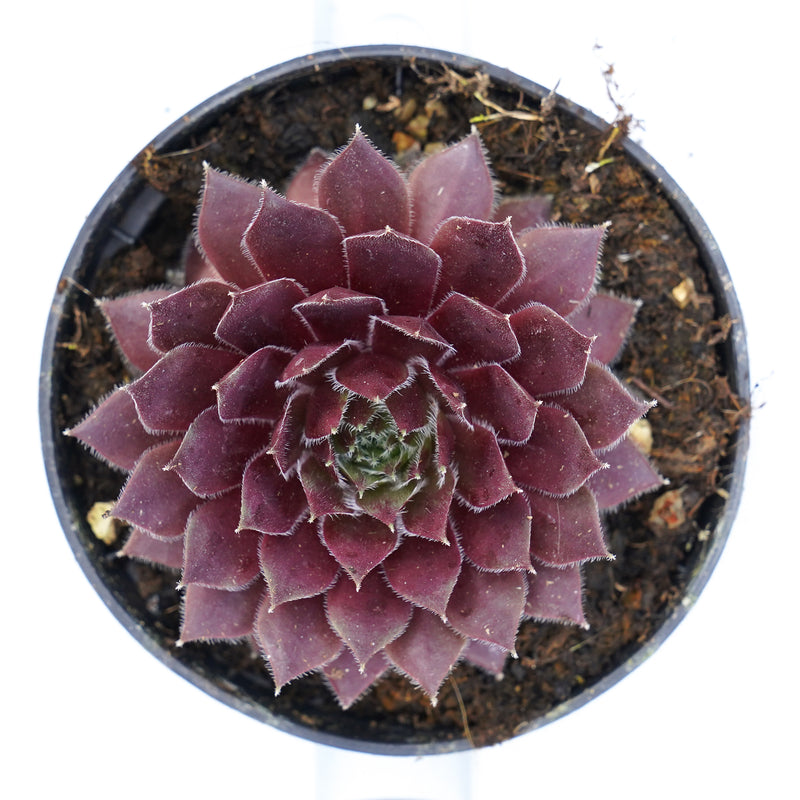 Sempervivum bordeaux queen