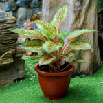 Gardens by the Bay - Father's Day Collection - Aglaonema (Chinese Evergreen) in plastic pot  - Cropped