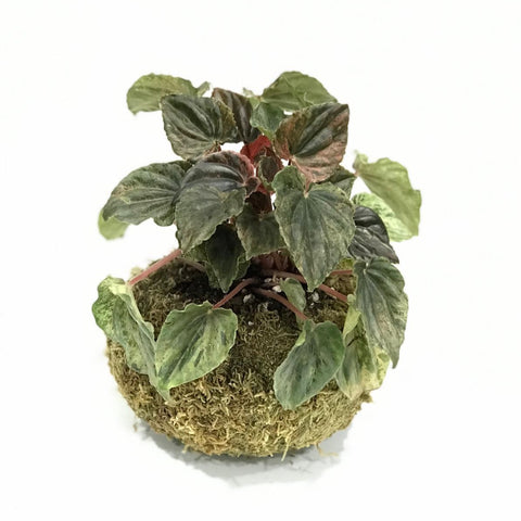 Gardens by the Bay - Plant Collection -Limited Edition - Gle Peperomia caperata variegata Kokedama