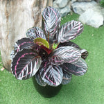 Gardens by the Bay - The Mini Garden Series - Father's Day Collection - Goeppertia roseopicta 'Dottie' in black ceramic pot