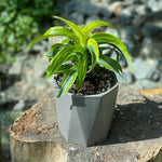 Gardens by the Bay - Plant Collection - The Mini Garden Series - Dracaena 'Lemon Lime' in grey geometric pot