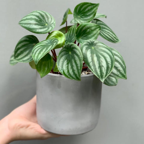 Gardens by the Bay - Plant Collection - Foliage Plants - Peperomia argyreia in grey matte pot
