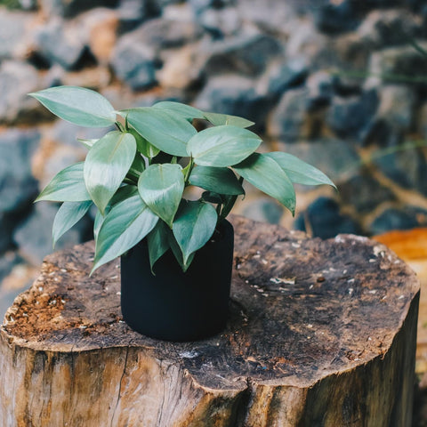 Gardens by the Bay - Plant Collection - The Mini Garden Series - Philodendron hastatum in black matte pot