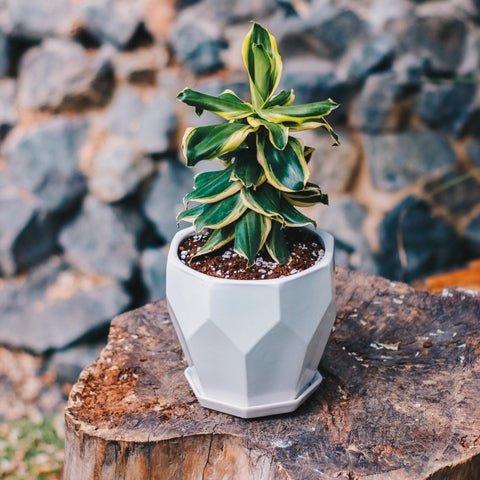 Gardens by the Bay - Plant Collection - The Mini Garden Series - Dracaena 'Dwarf' in white octagon pot