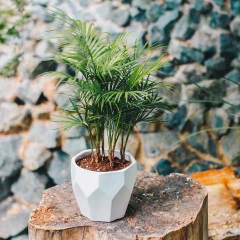 Gardens by the Bay - Plant Collection - The Mini Garden Series - Rhopaloblaste sp. in white octagon pot