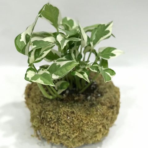 Gardens by the Bay - Plant Collection -Limited Edition - Gle Epipremnum 'NJOY' Kokedama