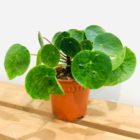 Gardens by the Bay - Plant Collection - Foliage Plants - Pilea peperomioides
