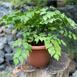 Gardens by the Bay - Plant Collection - The Mini Garden Series - Adiantum trapeziforme in plastic pot