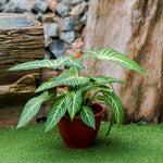 Gardens by the Bay - Father's Day Collection - Caladium lindenii in plastic pot - Cropped