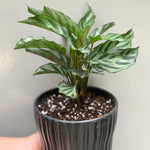 Gardens by the Bay - Plant Collection - Foliage Plants - Goeppertia concinna in black ceramic pot