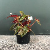 Gardens by the Bay - The Mini Garden Series - Begonia cv. (Japan) - Cropped