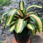 Gardens by the Bay - The Mini Garden Series - Foliage Collection - Neoregelia in black ceramic pot - Cropped