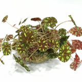 Gardens by the Bay - Plant Collection -Limited Edition - Gle Begonia rex Kokedama