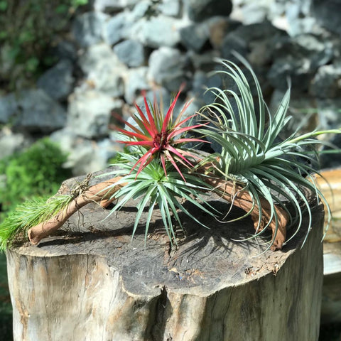Gardens by the Bay - Plant Collection - The Mini Gardens Series - Driftwood Tillandsia SP11