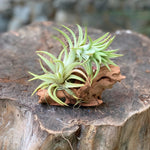 Gardens by the Bay - Plant Collection - The Mini Gardens Series - Driftwood Tillandsia S1
