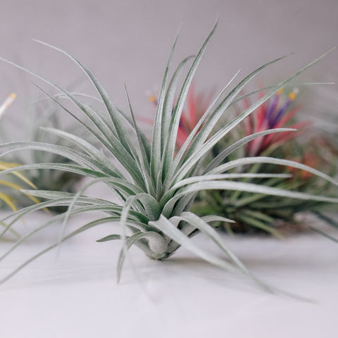 Eco Explorers! Air Plant Madness