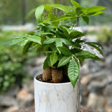 Gardens by the Bay - The Mini Garden Series - Foliage Collection - Pachira aquatica in marbled pot. - Cropped