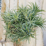 Air Plant in Cluster - Gardens by the Bay Online Shop