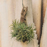 Air Plant on Driftwood - Gardens by the Bay Online Shop