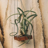 Air Plant on Swing - Gardens by the Bay Online Shop