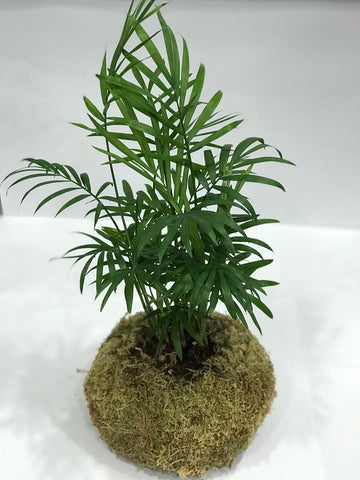 Gardens by the Bay - Plant Collection -Limited Edition - Gle Chamaedorea elegans Kokedama