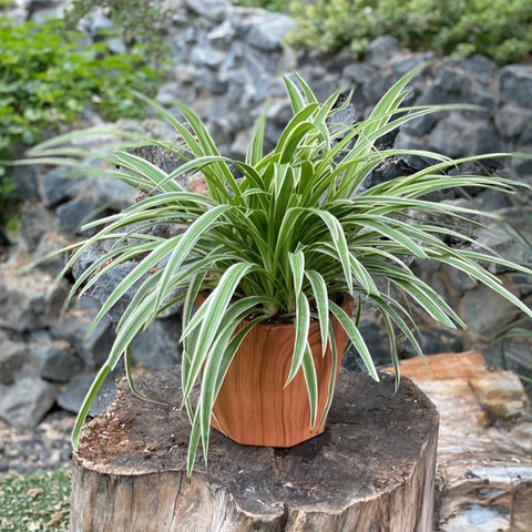 Gardens by the Bay - Father's Day Collection - Chlorophytum comosum in wood patterned ceramic pot  - Cropped