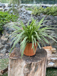 Gardens by the Bay - Father's Day Collection - Chlorophytum comosum in wood patterned ceramic pot