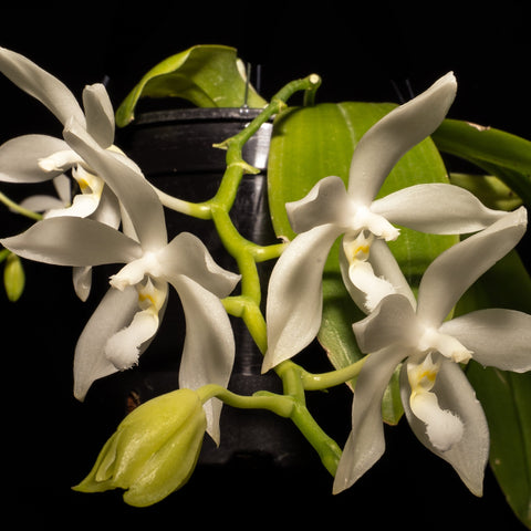 Gardens by the Bay - Plant Collection - Flight of the Moth Orchid - Phalaenopsis tetraspis var. alba (Limited Edition)