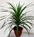 Gardens by the Bay - Plant Collection - Foliage Plants - Gfp Dracaena draco in plastic pot_2